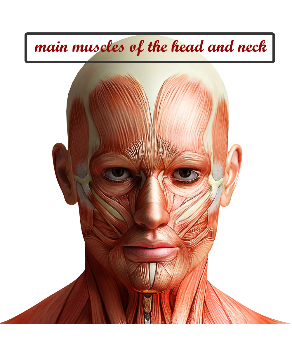 Main Muscles of the Head and Neck
