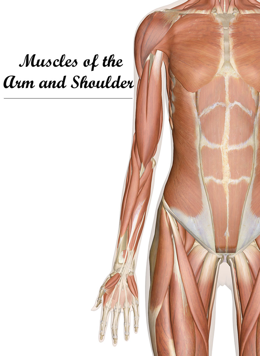 Muscles of the Arm and Shoulder